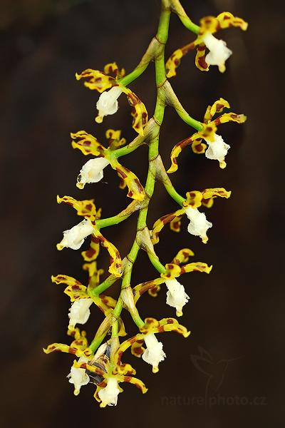 Orchidej Solenidionsis tigroides