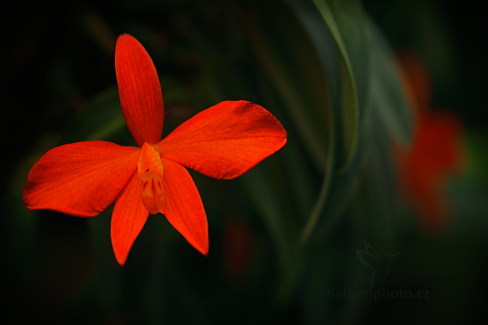 Orchidej Sophronitis mantiqueira