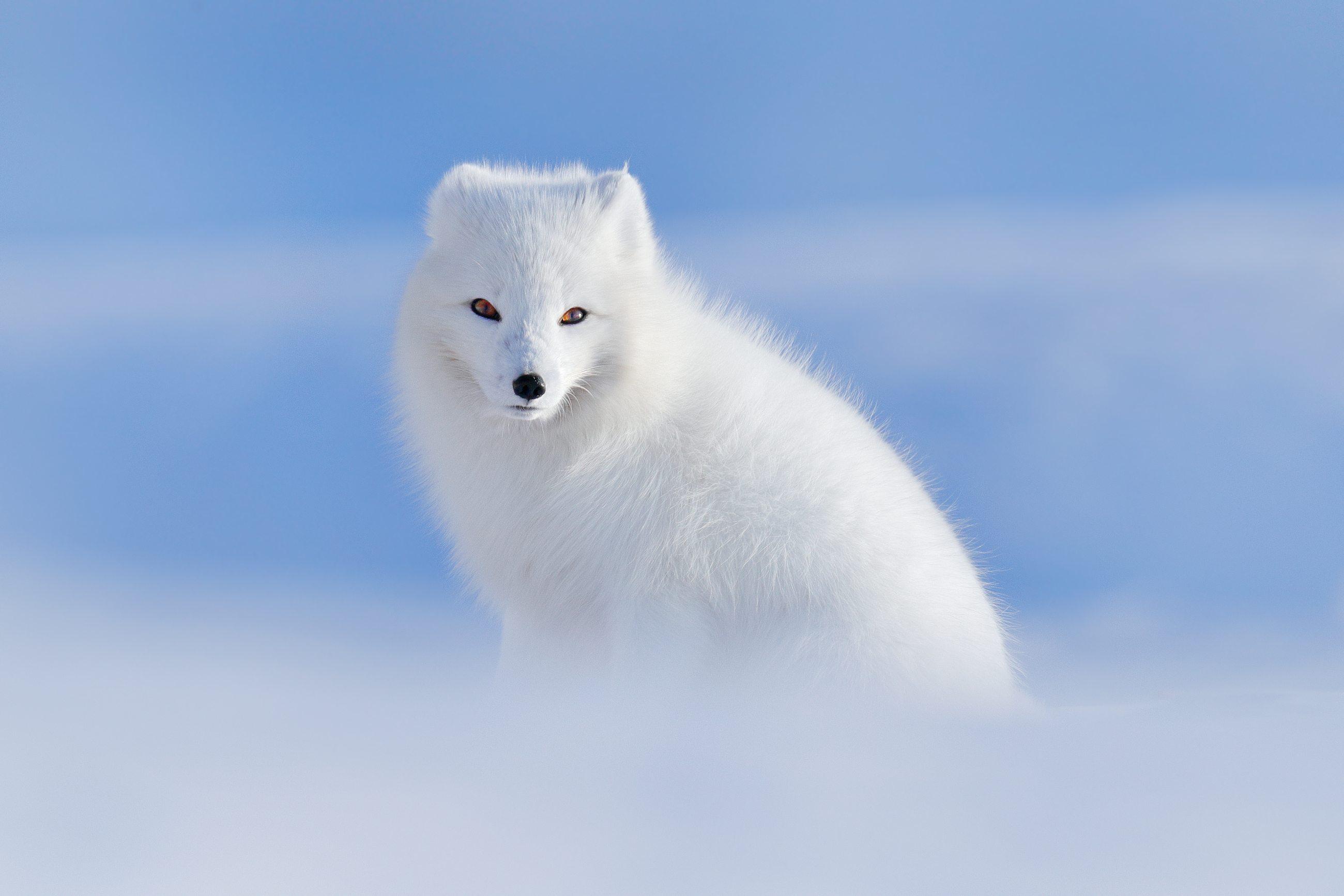 Arctic Fox (Vulpes lagopus) liška polární 62bcf43ac9