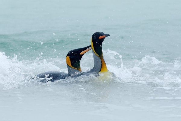 King penguin (Aptenodytes patagonicus) tučňák patagonský, Volunteer Point, Falklnad Islands