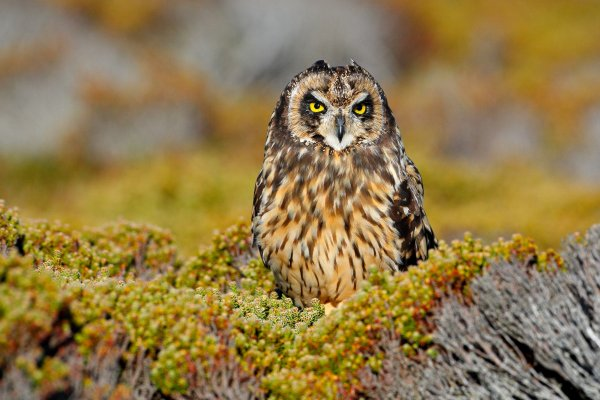 Short-eared Owl (Asio flammeus sanfordi) kalous pustovka, Sea Lion Island, Falkland Islands