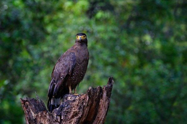 Crested serpent eagle (Spilornis cheela) orlík chocholatý, Wilpattu National Park, Sri Lanka