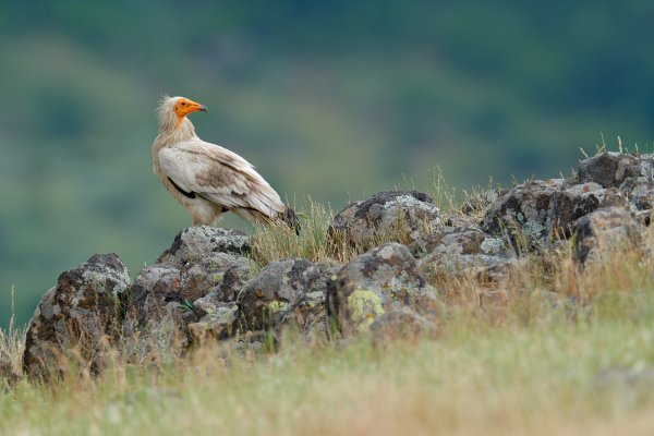 Egyptian vulture (Neophron percnopterus) sup mrchožravý, Eastern Rhodopes, Bulgaria