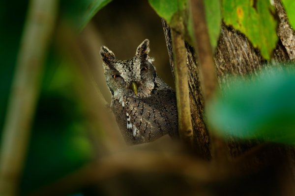 Pacific Screech Owl (Megascops cooperi) výreček pacifický, Carara National Park, Costa Rica